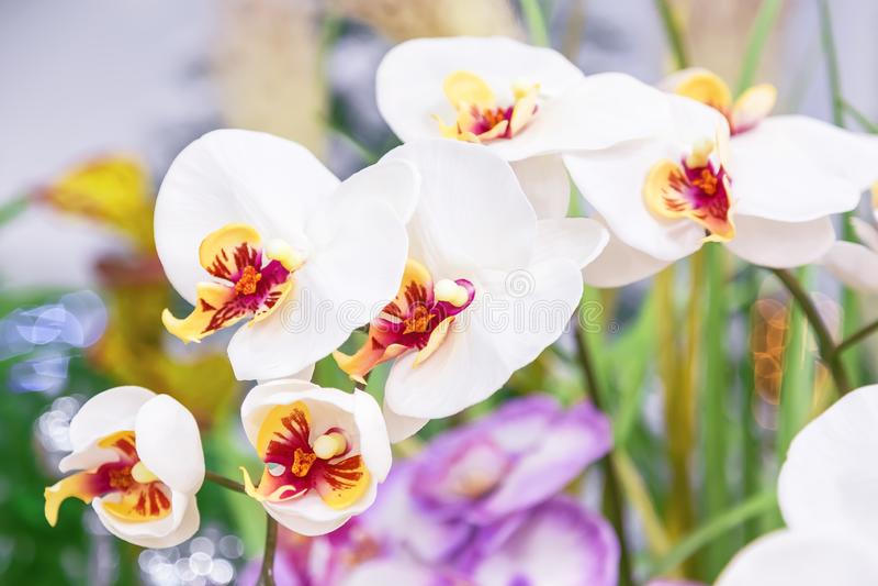 Naturlig blom- grön bakgrund med den konstgjorda filialen av vit orkidéblommaphalaenopsis royaltyfri foto