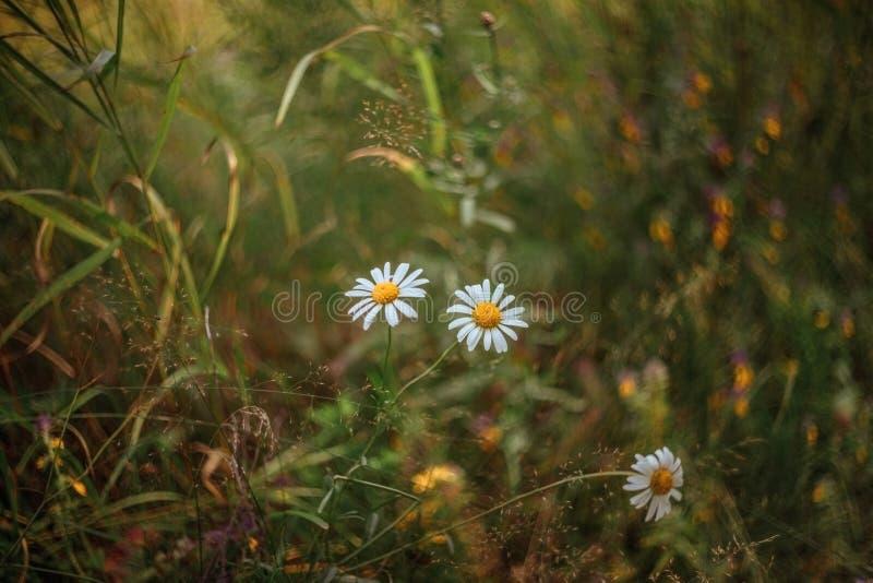 Naturlig fältbakgrund Vit kamomill, tusenskönor i fältet H?rlig sommar?ngbakgrund Sommarvildblommor på ett soligt arkivfoton