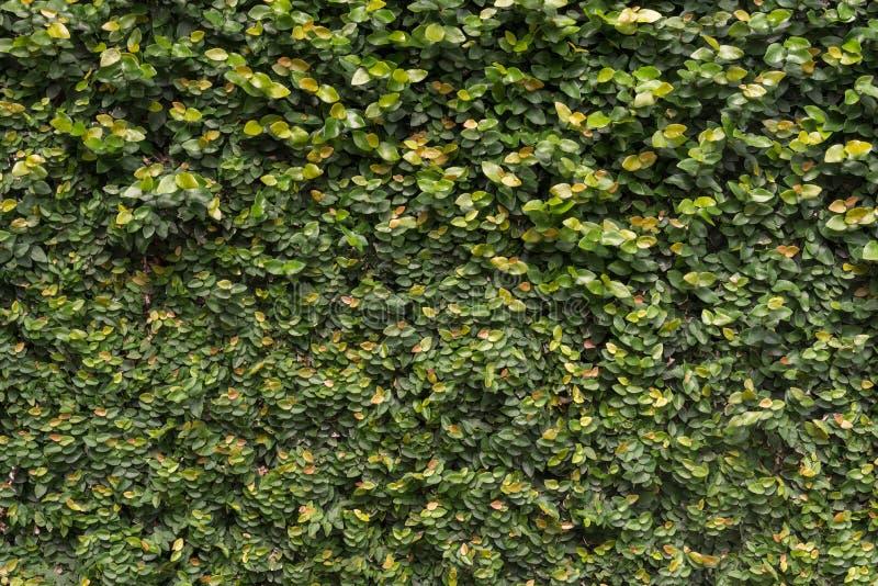 Naturlig gräsplan lämnar väggen royaltyfri foto