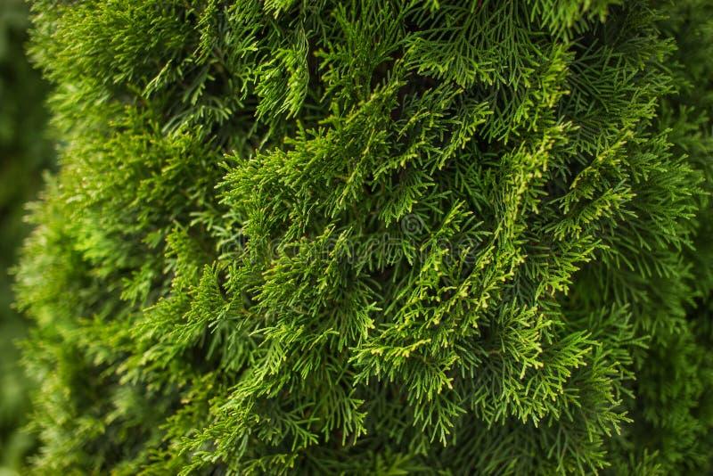 Download Naturlig Grön Barrträds- Bakgrund Fotografering för Bildbyråer - Bild av trädgård, sommar: 76703973