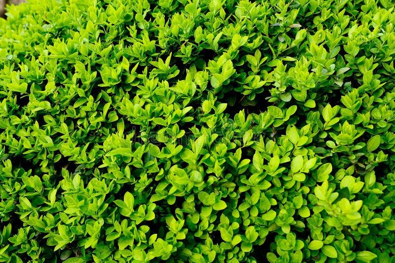 Naturlig grön bladtextur royaltyfri fotografi