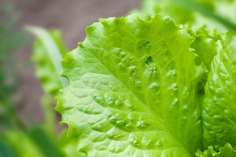 Naturlig grön texturerad modell för grönsallatblad närbild Härlig växande salladväxt, suddig bakgrund för bondeträdgård arkivbild