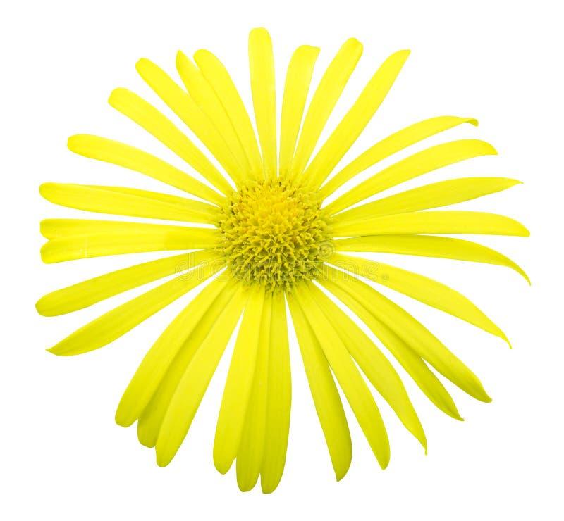 Naturlig gul exotisk isolerad krysantemumblommamakro arkivbild