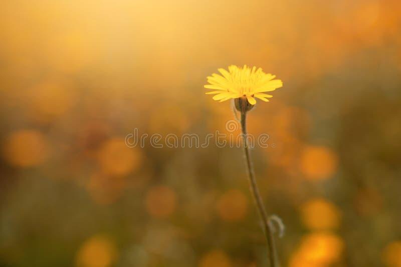 Naturlig gul tusensköna som växer i en blommaträdgård arkivfoto