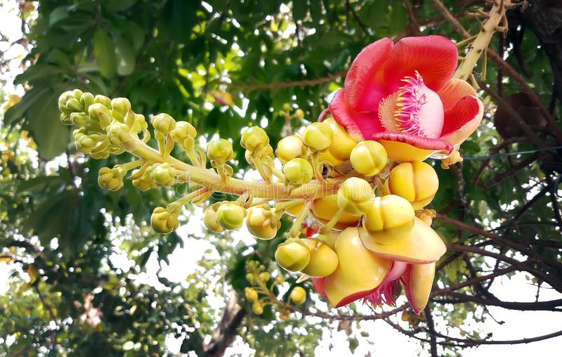 Naturlig härlig närbild som skjutas av blomman av cannonballträdet Co royaltyfria bilder