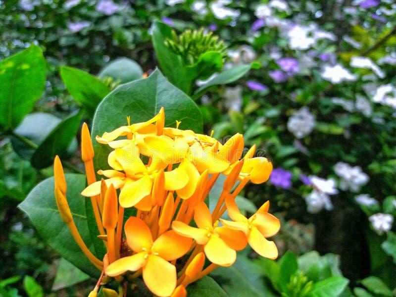 Naturlig Ixora blomma i Sri Lanka arkivbilder
