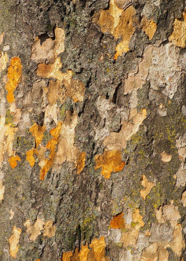 Naturlig kamouflage som abstrakta modeller på skalningsskället av en gammal trädstam royaltyfria bilder
