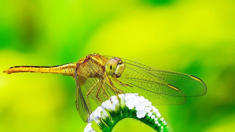 Naturlig makrodrakfluga i den gröngula bakgrunden arkivfoto