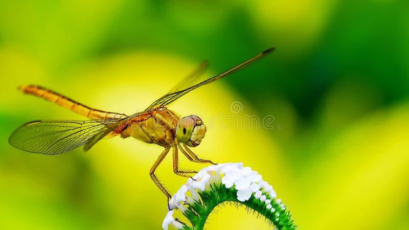 Naturlig makrodrakfluga i den gröngula bakgrunden arkivfoton
