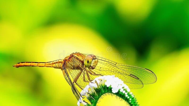 Naturlig makrodrakfluga i den gröngula bakgrunden royaltyfria bilder
