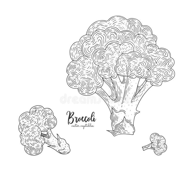 Naturlig mat för bondemarknad Dragen illustration för vektorbroccoli hand Konturöversiktsstil Vegetarisk mat för designmeny, vektor illustrationer