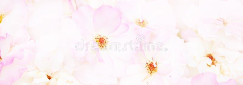 Naturlig rosa rosbakgrund Blom- kort för pastellfärgad och mjuk bukett arkivbild
