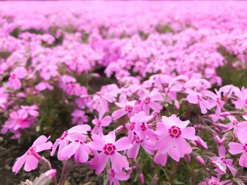 Naturlig sikt av det härliga rosa shiba-sakura för mossaflox fältet i shibazakurafestival framme av Mt Fuji, Fujikawaguchiko, royaltyfri foto