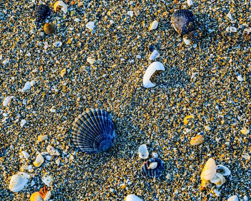 Naturlig skärm av kammusslaskal på stranden royaltyfri fotografi