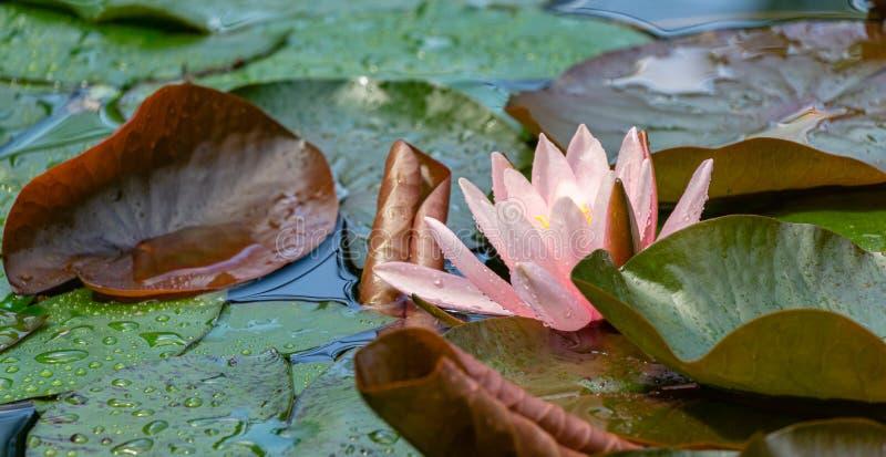 Naturlig skönhet av rosa näckrors eller lotusblommablommor Marliacea Rosea för delikat knopp royaltyfri foto