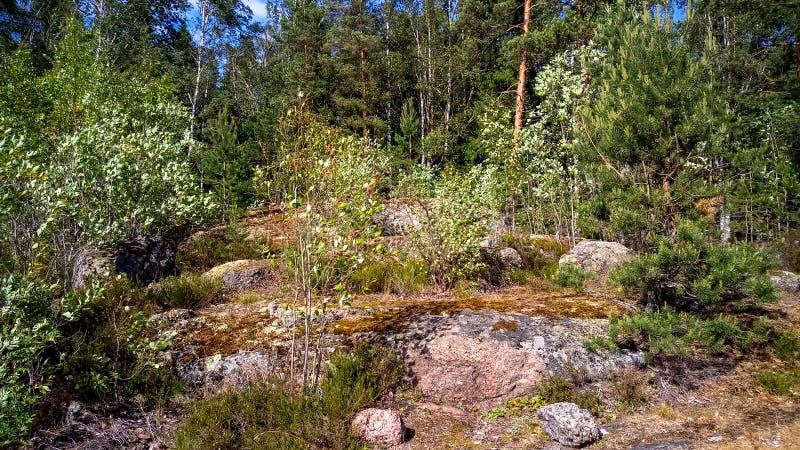 Naturlig skog med granitstenblock Nordlig natur, skog på en solig dag med moln i himlen royaltyfri bild