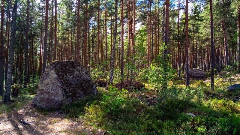 Naturlig skog med granitstenblock Nordlig natur, skog på en solig dag med moln i himlen arkivbild