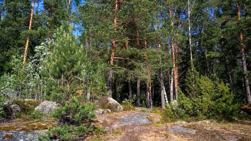 Naturlig skog med granitstenblock Nordlig natur, skog på en solig dag med moln i himlen royaltyfri fotografi
