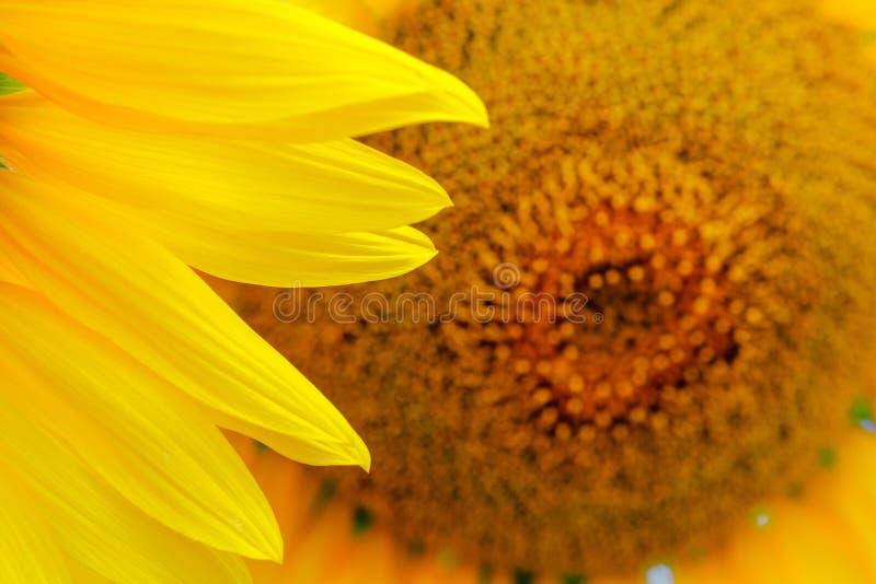 naturlig solros för bakgrund Blomma för solros tät solros upp royaltyfri foto