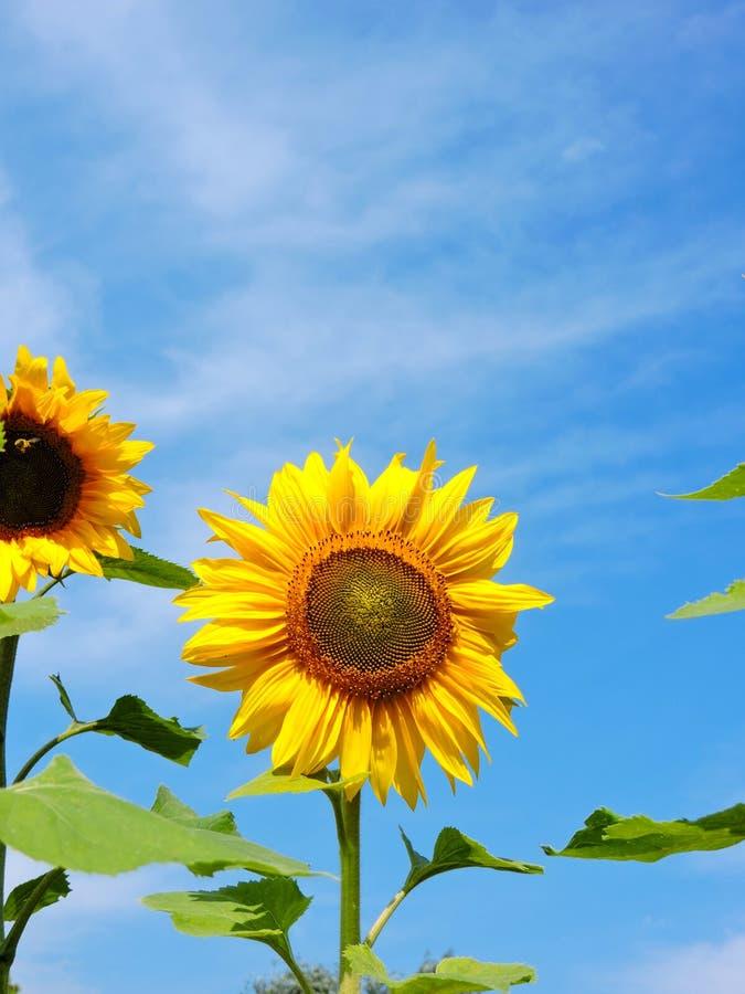 naturlig solros för bakgrund Blomma för solros tät solros upp blommas fältsolrosor Top beskådar arkivfoto