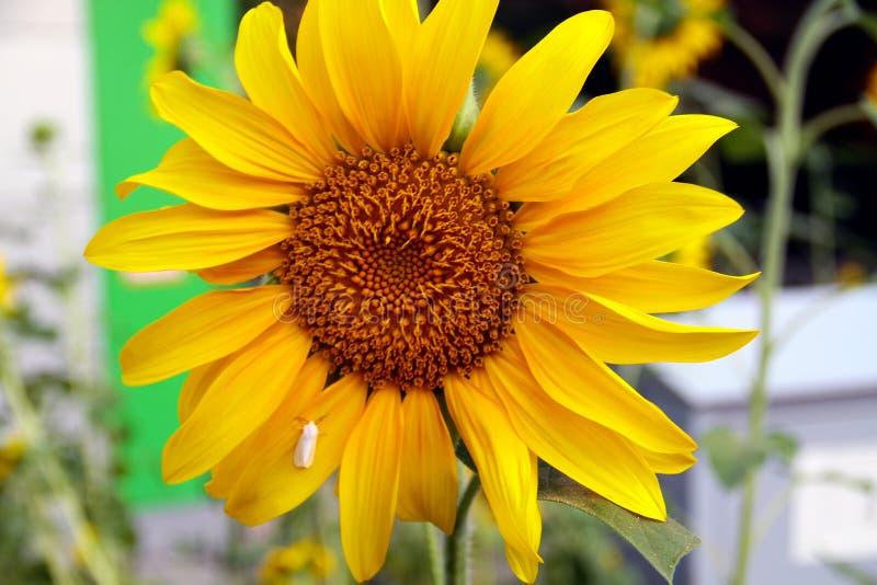 naturlig solros f?r bakgrund Blomma f?r solros Closeup av en solros med en vit liten fjäril royaltyfri fotografi