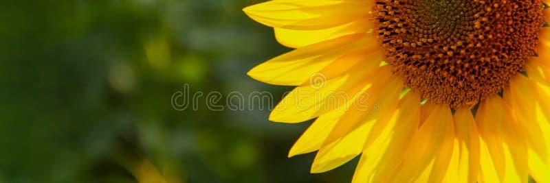 naturlig solros f?r bakgrund Blomma f?r solros ?kerbruk f?lt royaltyfri fotografi