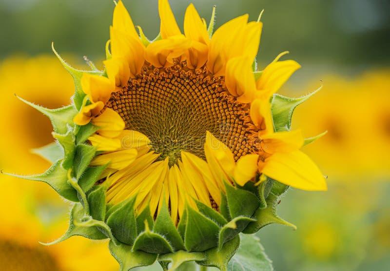 naturlig solros f?r bakgrund Blomma f?r solros t?t solros upp royaltyfri foto