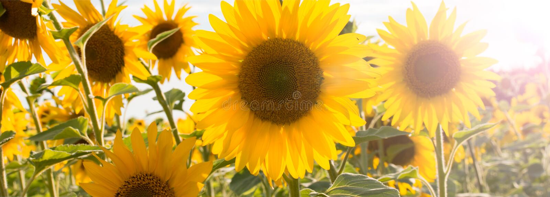 naturlig solros f?r bakgrund Blomma f?r solros t?t solros upp Ljus gul solrosor och sol arkivfoton