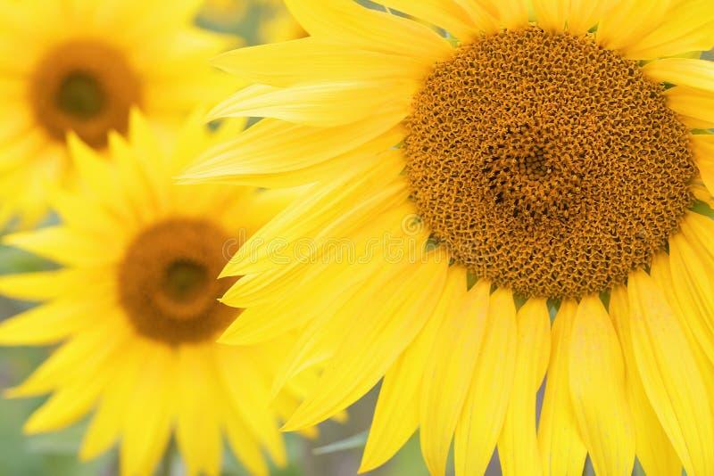naturlig solros f?r bakgrund Blomma f?r solros t?t solros upp arkivbilder