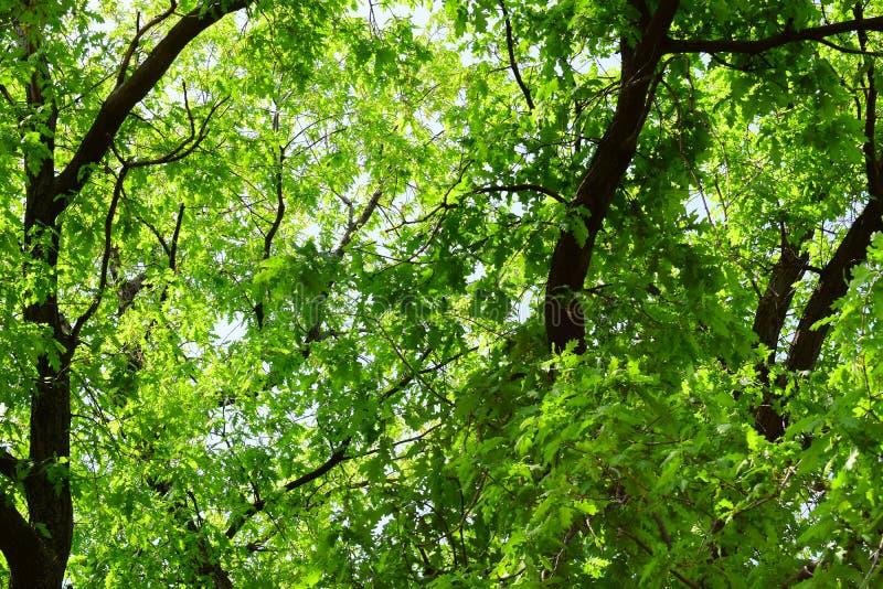 Naturlig sommarbakgrund av många sidor av en stor vuxen ek Mycket grönt lövrikt, nära stammen, på en solig varm dag royaltyfri foto