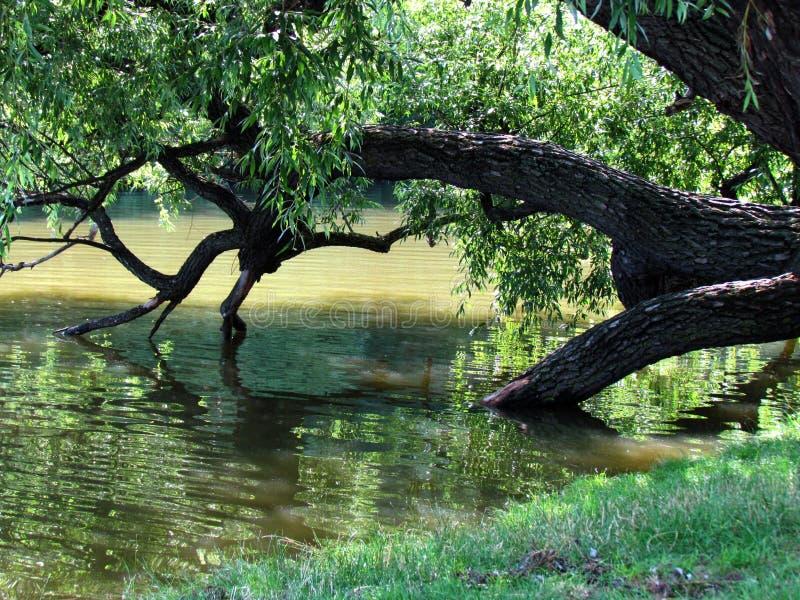 Naturlig stilleben med det brutna trädet i vatten Den gamla pilen faller in i ett damm royaltyfri fotografi