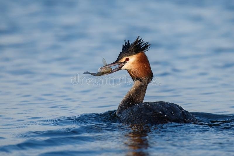 Naturlig stor krönad doppingpodicepscristatus med fisken i näbb arkivfoton