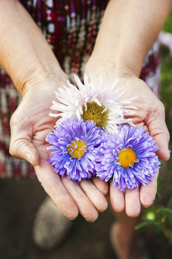 Naturlig textur av blommaaster Mångfärgade aster i de rynkiga händerna av ett äldre personnärbild- och kopieringsutrymme royaltyfria foton
