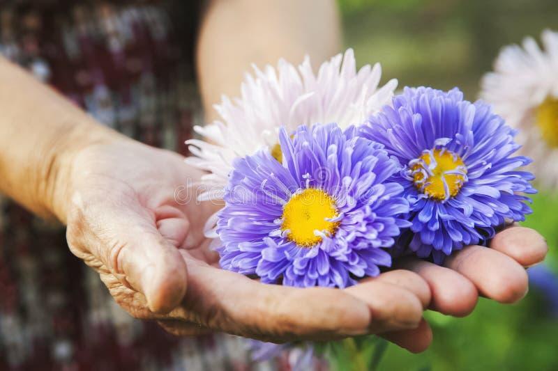Naturlig textur av blommaaster Mångfärgade aster i de rynkiga händerna av ett äldre personnärbild- och kopieringsutrymme royaltyfri foto
