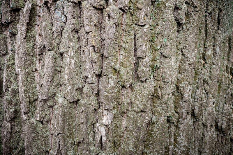 Naturlig träbakgrund Närbildgrå färg-brunt skäll av det gamla mossiga trädet royaltyfri fotografi