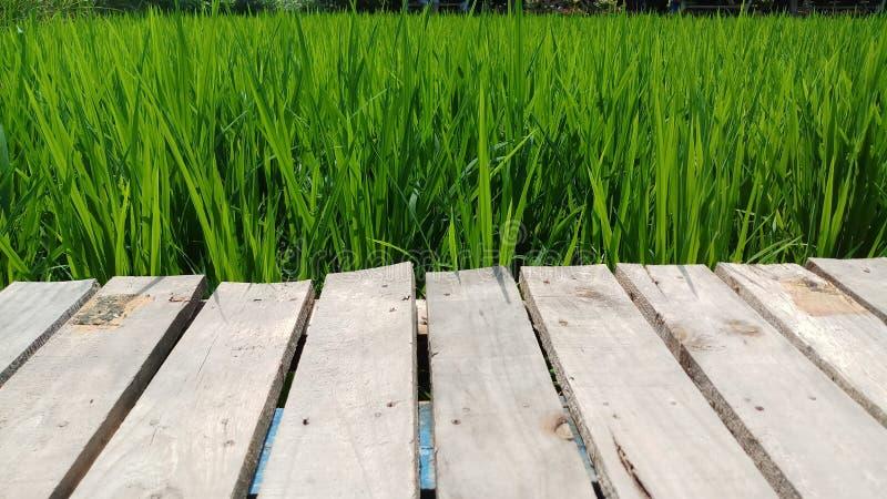 Naturlig träbro med den gröna risfältet fotografering för bildbyråer