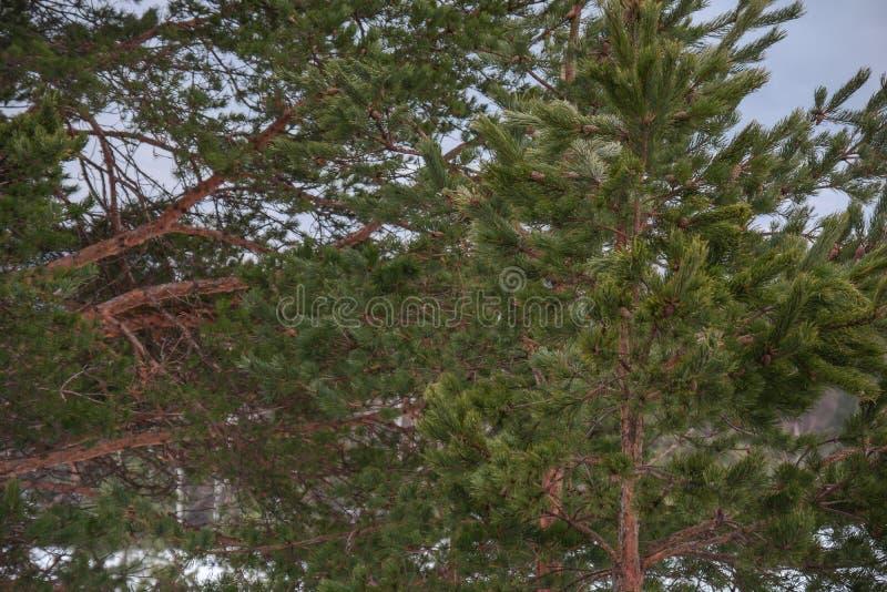 Naturlig trägräsplan sörjer trädet i bergskogbakgrund royaltyfria bilder