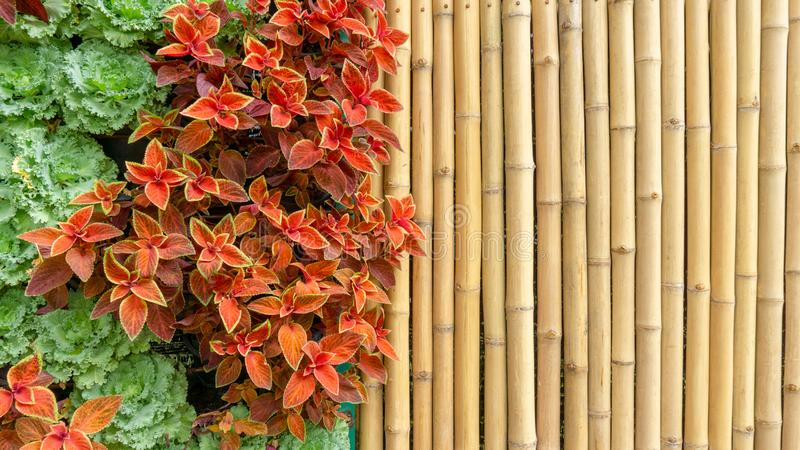 Naturlig vertikal trädgårdbakgrund som dekoreras med den gula bammboostammen, grön dekorativ kål, Acephala gruppgrönkål arkivbild