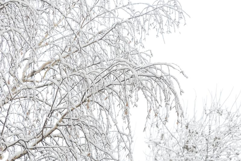 Naturlig vintersnöbakgrund Björkträdfilialer i det insnöade molniga vädret royaltyfri fotografi