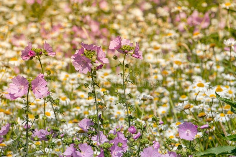 Naturlig violett violett blommaäng arkivbild