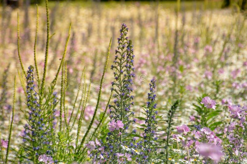 Naturlig violett violett blommaäng arkivfoto