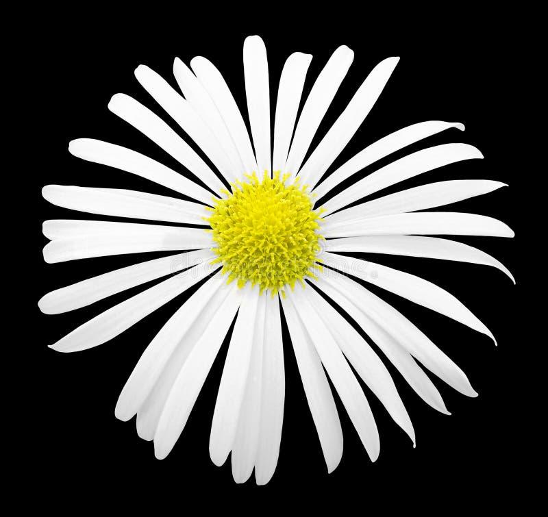 Naturlig vit exotisk isolerad krysantemumblommamakro arkivbild