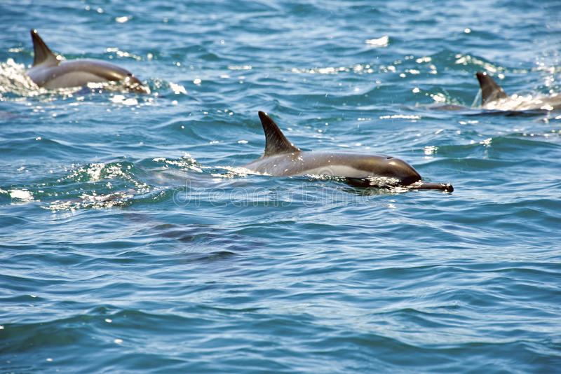Naturliga delfin i Mauritius royaltyfria bilder
