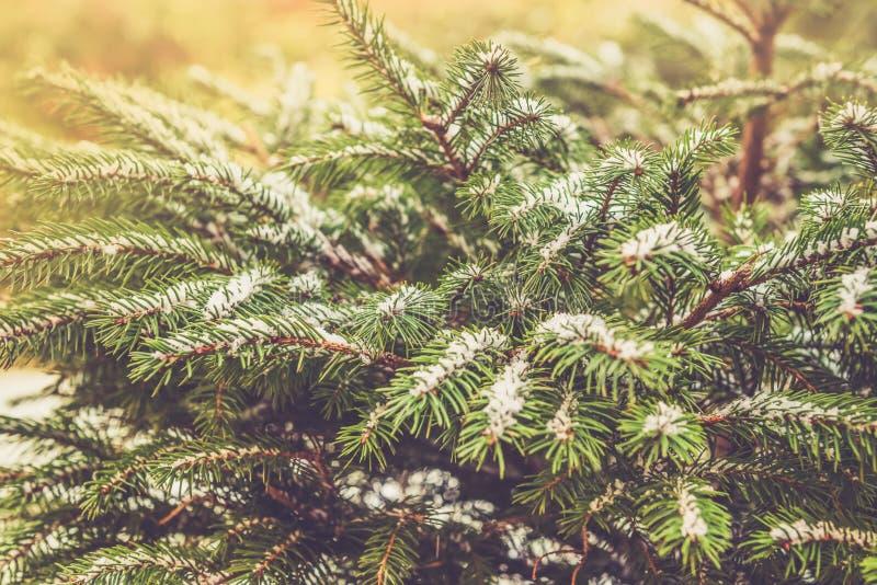 Naturliga fruncher för granträd som täckas med snö, julbegrepp royaltyfria foton