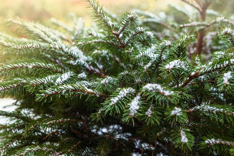 Naturliga fruncher för granträd som täckas med snö, julbegrepp fotografering för bildbyråer