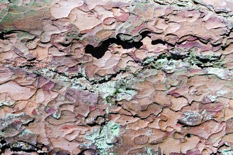 Naturliga gamla sörjer skälltextur med mossa Stäng sig upp textur från trädstammen för bakgrund och design arkivfoto