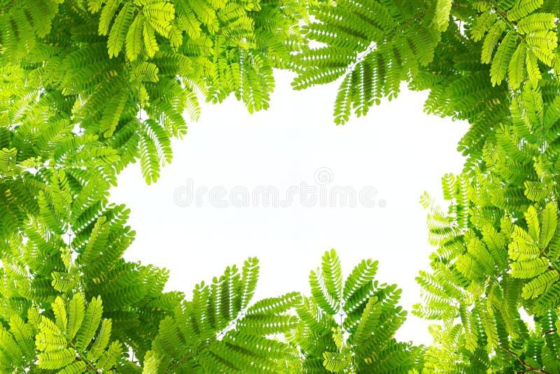 Naturliga gröna sidor gränsar och inramar på den vita isolaten royaltyfri foto