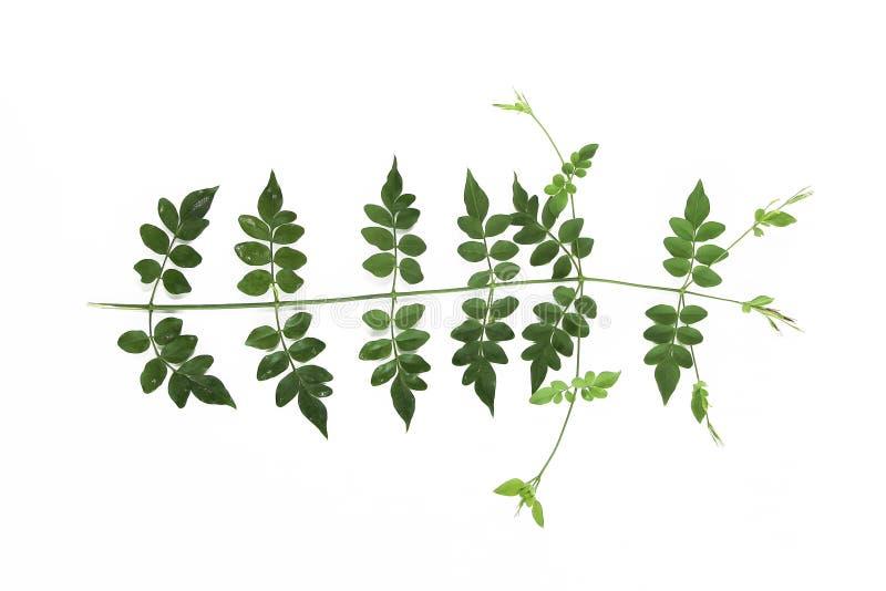 Naturliga små gröna sidor av akacian på en vit bakgrund arkivbilder