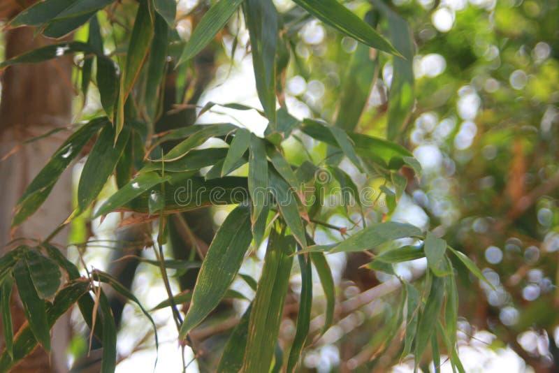 naturliga trees för bakgrundsbambuclose upp royaltyfria bilder