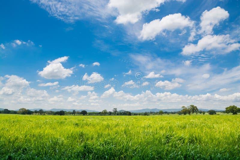 Naturliga Windy Green Grass Field under molnig blå himmel på Summert arkivbilder